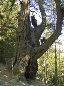 Baum in der Mitte des Nationalpark Waldlehrpfades Zedlacher Paradies